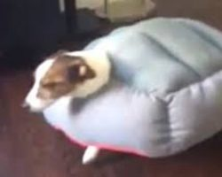 Jack Russell Gets Himself Stuck In His Bed