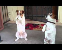 Two Talented Jack Russell Terriers Showcase Amazing Talents