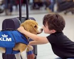 This Adorable Beagle Returns Lost Items To Their Owners In Schipol Airport