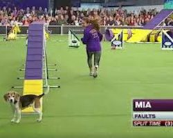 Beagle Gets Distracted During Dog Show Agility Course And Makes Entire Audience Laugh