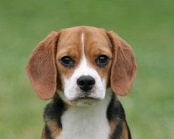 15 Signs You're A Crazy Beagle Person… and Damn Proud To Be!