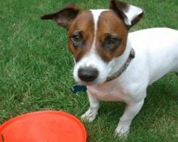 15 Signs You're A Crazy Jack Russell Person… And Damn Proud To Be!