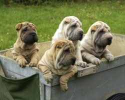 10 Wrinkly Facts About the Shar-Pei