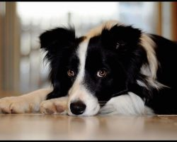 20 Things All Border Collie Owners Must Never Forget