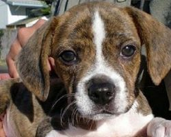 18 Unreal Beagle Cross Breeds You Have To See To Believe