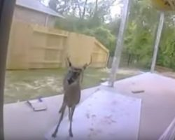Deer shows up in backyard and tries to show family something, then they immediately call 911