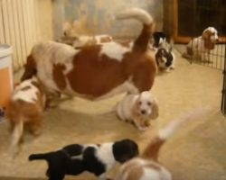 Bassets, Bassets Everywhere!