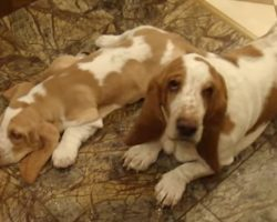 Playful Basset Pups And Mom In Moscow