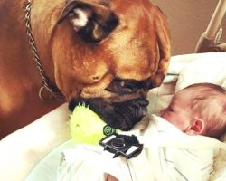 When Their Baby Starts Crying, Their Bullmastiff Does A Selfless Act To Comfort Him