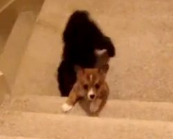 Corgi Puppy Trying To Go Up The Stairs Gets Unexpected Help From His Big Brother