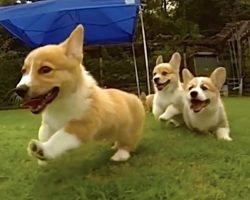 Corgi Puppies Playing In Slow Motion Are Gloriously Cute