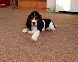 Playful Basset Pup vs. Hanging Toy