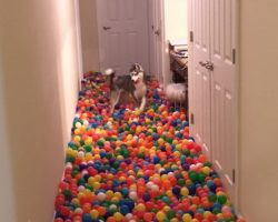Dog Stunned With Happiness When His Human Reveals Homemade Ball Pit