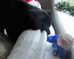 Little Girl Plays Adorable Game Of Hide And Seek With Newfie Dog