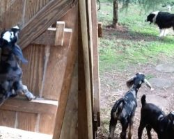 Naughty Baby Goats Escape Barn Only To Get Stopped In Their Tracks By Dog