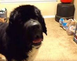 Funny Newfoundland Dog Talks His Dad Into Giving Him a Treat