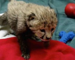 Cheetah Cub And Puppy Born On The Same Day Are The Cutest Best Friends