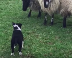 Border Collie Puppy Who Never Had Seen A Sheep Before Picks Up Herding Like A Pro