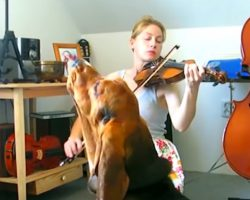 Bodzio The Basset Hound Sings Brilliantly To The Sound Of The Violin