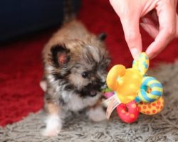 At Just 11 Centimeters Tall This Tiny Dog Is Adorable