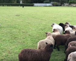 World's Worst Sheepdog Goes To Herd Sheep, Somehow Gets Them To Play With Him Instead
