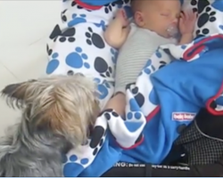 [Video] Yorkshire Terrier won't stop until baby is properly tucked in