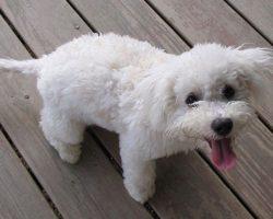 10 Best Bichon Frise Dog Names