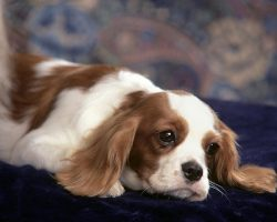 10 Best Cavalier King Charles Spaniel Dog Names