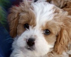 10 Unreal Cavalier King Charles Spaniel Cross Breeds You Have To See To Believe
