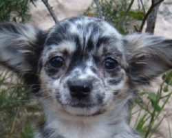 12 Unreal Chihuahua Cross Breeds You Have To See To Believe