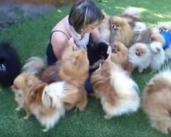Pomeranian Puppies Happy To See Their Owner
