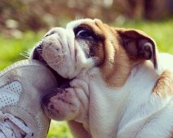 10 Reasons English Bulldogs Are The Worst Breed EVER