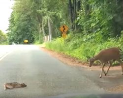 Terrified Baby Deer Freezes On Highway. Mom Returns To Instill Some Bravery