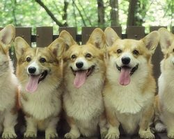 10 Horrifying Things You Didn't (Want to) Know About Corgis