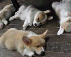 16 Hilarious Photos That Prove Corgis Can Sleep Absolutely Anywhere