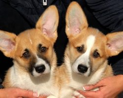 6 Cool Facts About Corgis