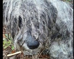 Abused Schnauzer Found Tied To A Tree Makes An Amazing Transformation After His Rescue