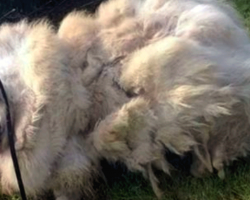 Neglected 7-Year-Old Great Pyrenees Gets Rescued From Barn – And An Epic Haircut!