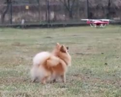 Reynard the Pomeranian Dog the Drone Chaser