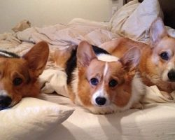 18 Reasons Corgis Are The Worst Indoor Dog Breeds Of All Time