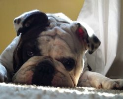 6 Problems Only English Bulldog Owners Will Understand