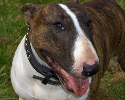 12 Realities That New English Bull Terrier Owners Must Accept