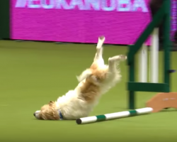 Agility Course Fail Doesn't Stop This Dog, And It Has The Announcer In Stitches