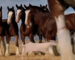 Hilarious Budweiser Commercial Stars Famous Clydesdales… And One Streaking Sheep