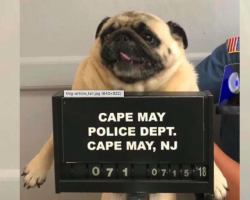 Bad Dog Gets 'Pugshot' Taken After Being Picked Up By The Police