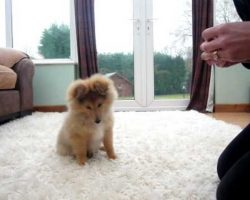 This Sheltie Puppy Doing His First Tricks Will Make Your Day!