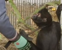Chained Up For 8 Years, Spider Monkey Gets 1st Taste Of Freedom After Rescue