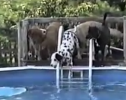 Dalmatian's Scared To Jump In The Pool, Then A Friend Shows Him How It's Done