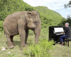Elderly Elephant Starts Crying When Man Plays Piano For Her