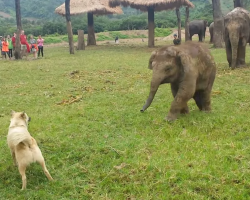 Baby Elephant Gets Frustrated When Playing Chase With The Dog